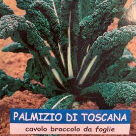 cavolo Laciniato Nero palmizio di toscana